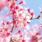 恋のかけらの代わりに 桜の花びら一枚