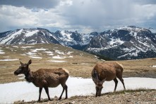 Elk And Mountains, Rocky Mountains National Park
