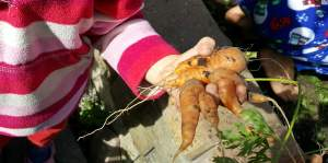 toddler holding a deformed carrot just pulled from the garden