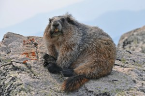 Marmot on Whistlers Mountain in Jasper National Park