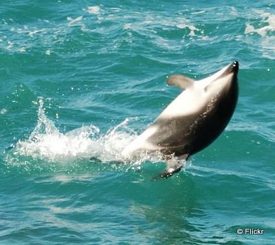 new zealand kaikoura dolphin taking to the open road peggy tee flickr