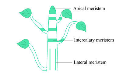 meristematic tissue, claffication and functions of meristematic tissue, class 9 science