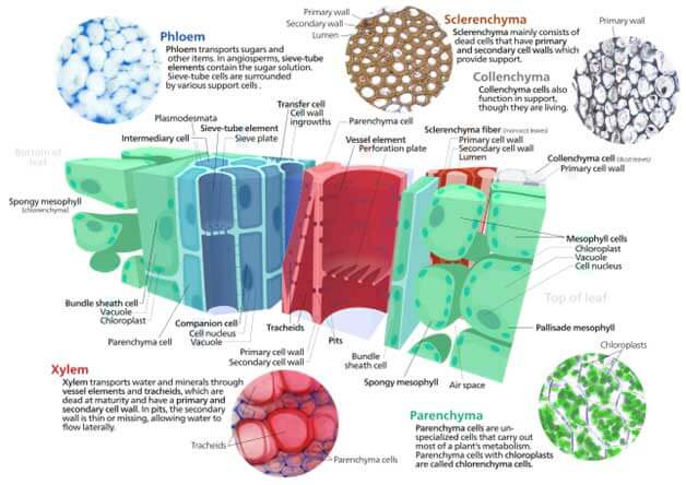 What is Permanent Tissues, types, and Functions? Class 9th Science