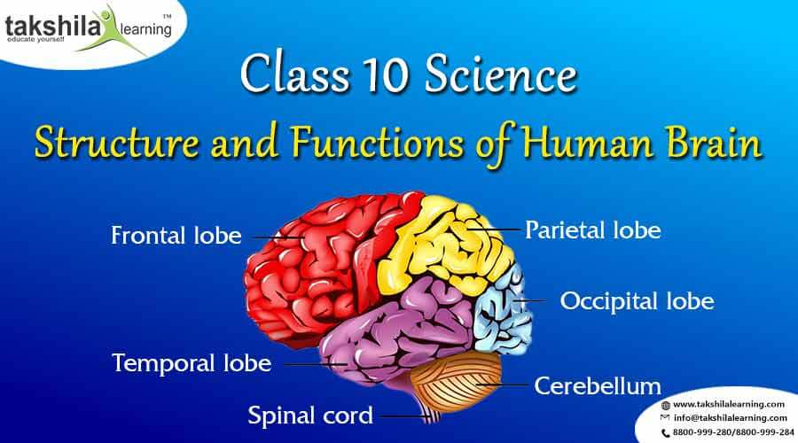 What Is The Structure And Functions Of Human Brain Class 10 Science