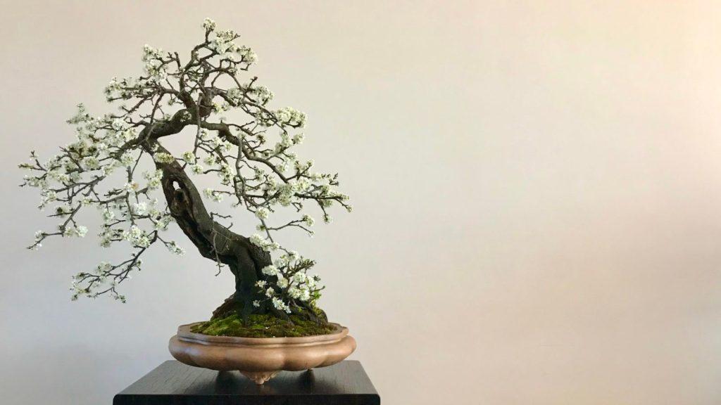 TAKUMI lifestyle | Il bonsai al tempo del covid19