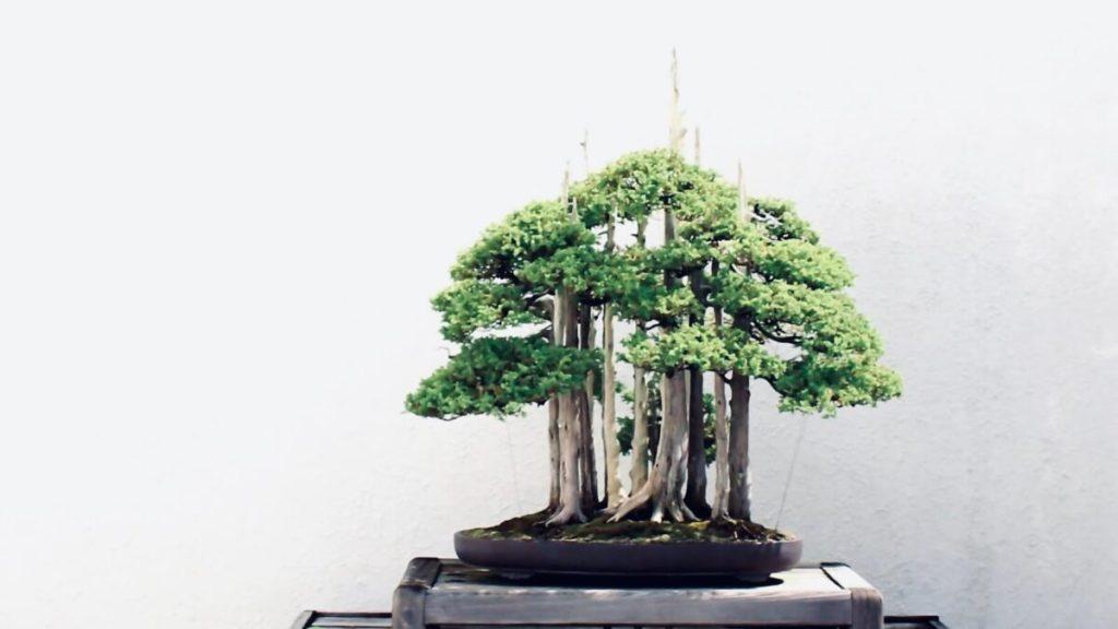 TAKUMI lifestyle | John Naka Goshin bonsai
