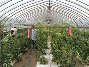 様々な種類のミニトマト収穫