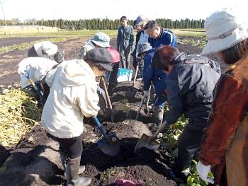 サツマイモの堀取り実習です
