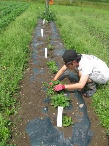 マルチの穴から出た草を取りました