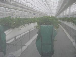 ここも中には入れませんでしたがそつから栽培中のイチゴを観察