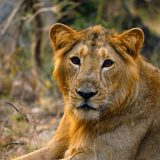 Golden Young Asiatic Male Lion