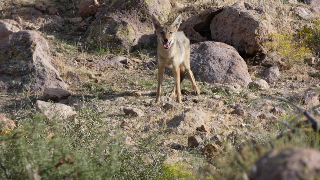 Mary's Cave, Mojave National Preserve, Mojave Desert, California, Petroglyphs, Pictographs, Rock Art, Coyote