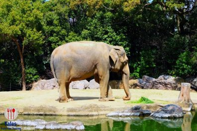 Tennoji Zoo Elephant