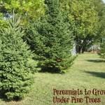 Perennials to Grow Under Pine Trees