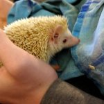 Meet our Hedgehog