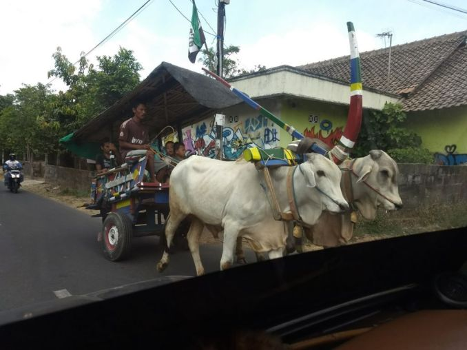Cow based transportation in Yogyakarta