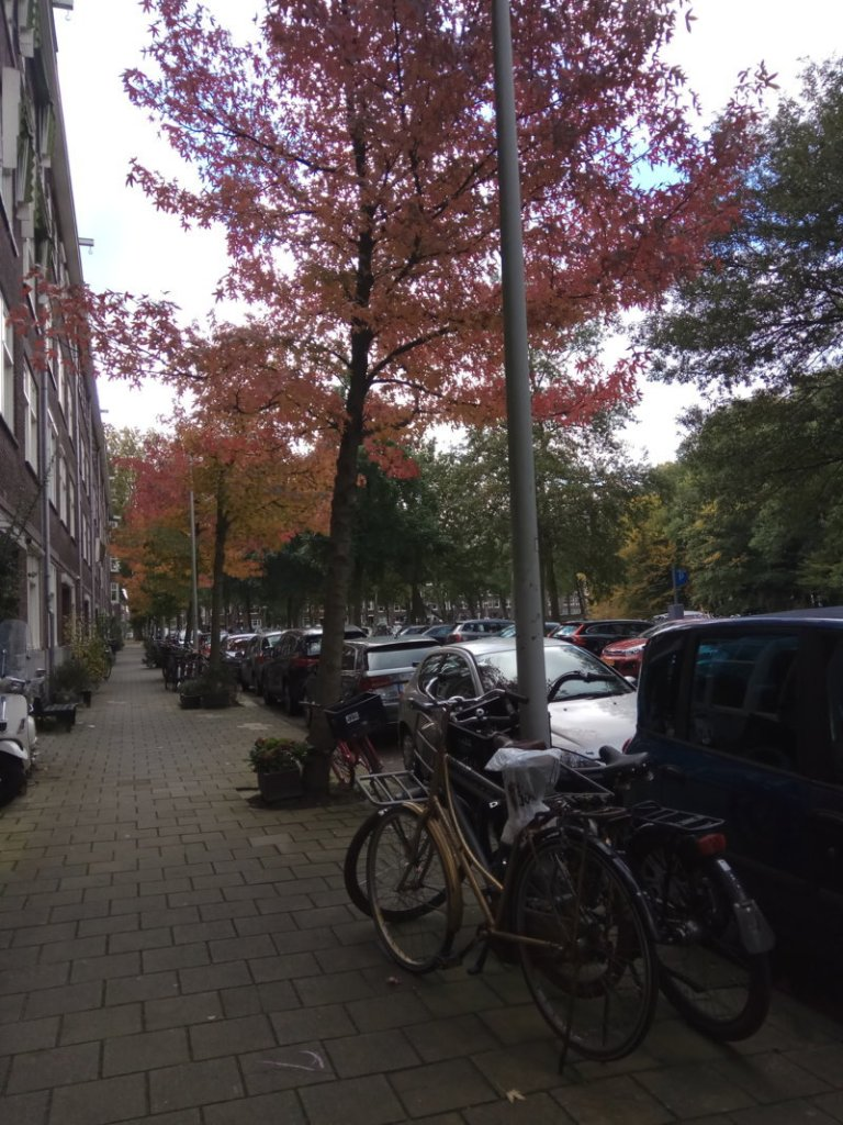 Red leaves Autumn in Amsterdam
