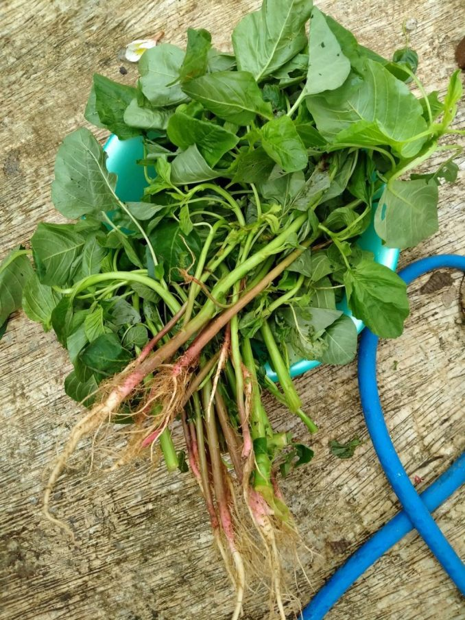 growing vegetable that I bought, Indonesian Spinach