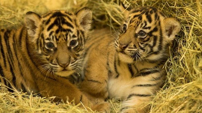 Tiger Gives Birth to Cubs at Disney's Animal Kingdom