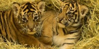 Tiger Gives Birth to Cubs at Disney's Animal Kingdom