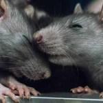 44288136 - a pair of rats