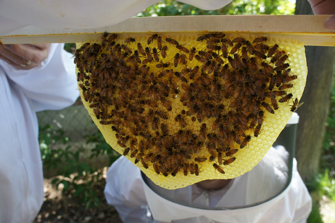 Top Bar Hives Talking With Bees Beekeeping Wiring Board Photo Honeybees Creating Their Own Natural Comb In Hive