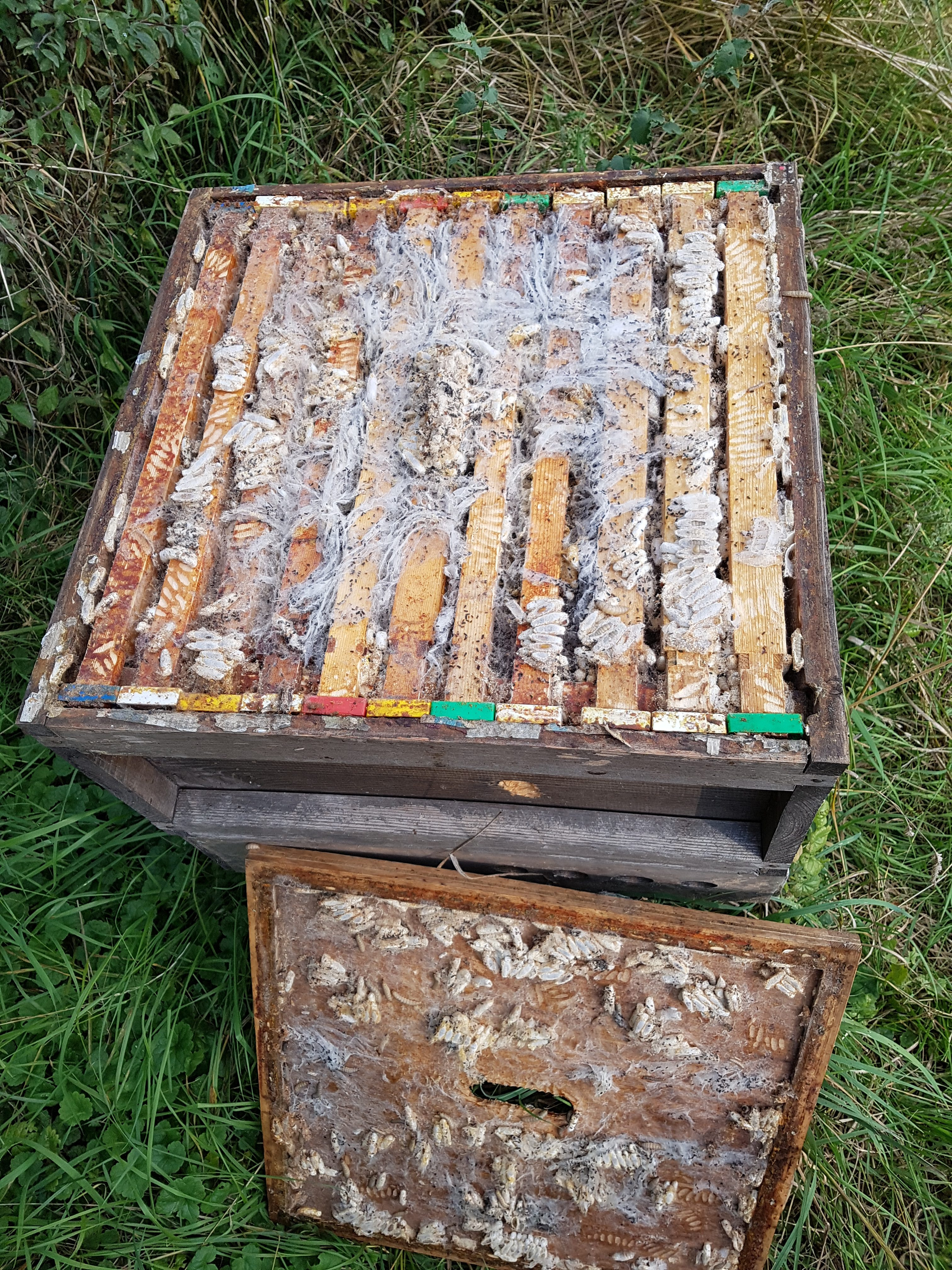 Wax Moth Infestation In Beehive Talking With Bees