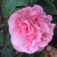 Camellia. Debutante
