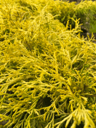 Chameacyparis. Gold Mop False Cypress