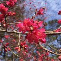 Prunus. Taiwan Cherry 2018.01 (2)
