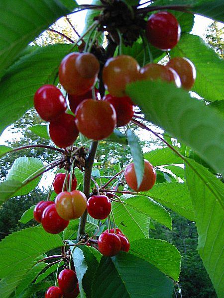 Ripe Van and/or Stella Cherries cherry trees