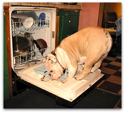 Bulldog licking dishes