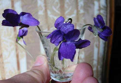 sweet violets in a cordial glass