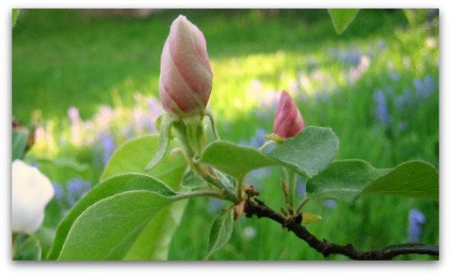 edible quince flowering bud
