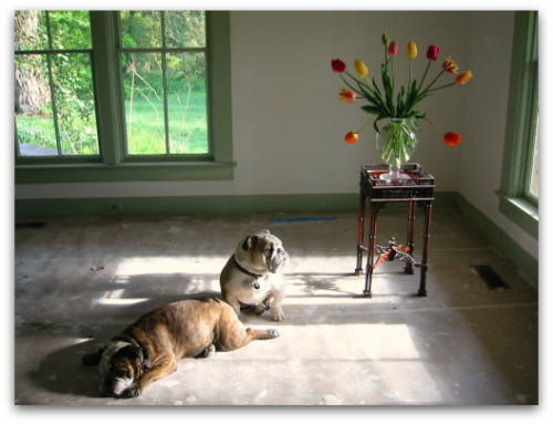 two bulldogs and tulips
