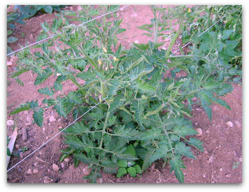 happpy healthy tomato plant growing in the garden
