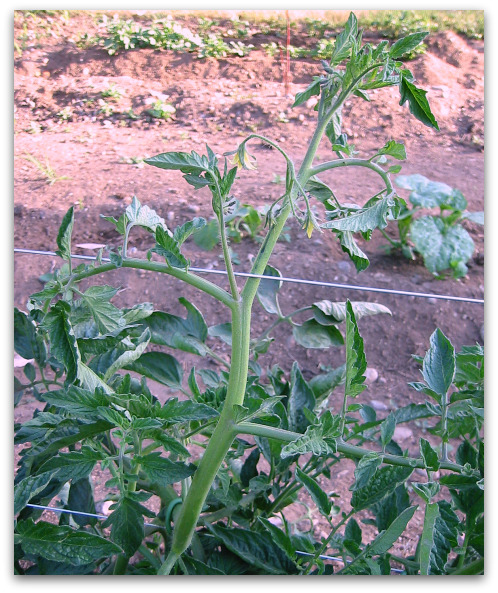 close-up of tomato plant on trellis