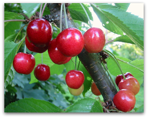 Van Sweet Cherries on the tree at tall clover farm