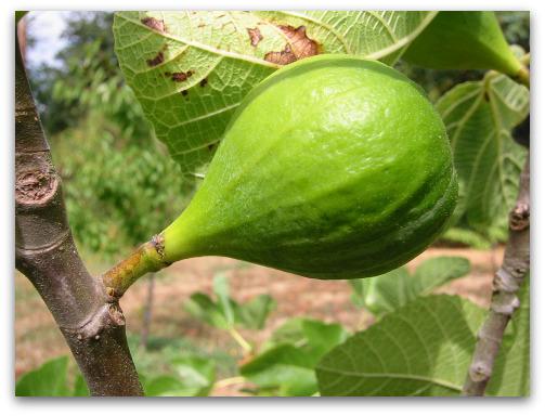 Unripe Desert King fig not ready to pick