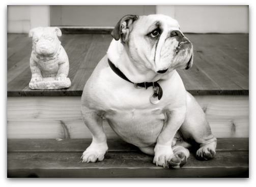 Boz the Bulldog: Fine Art's Poster Boy