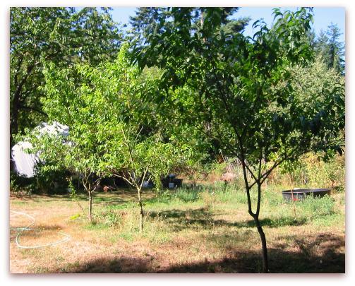 Peach tree report 2009 update on leaf curl resistant varieties charlotte peach tree q 1 8 white peach tree indian free peach m4hsunfo