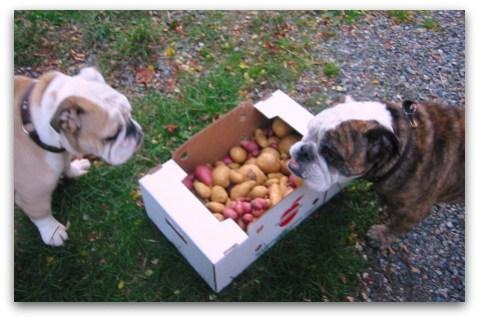 blog_2009_30_09_potatoes