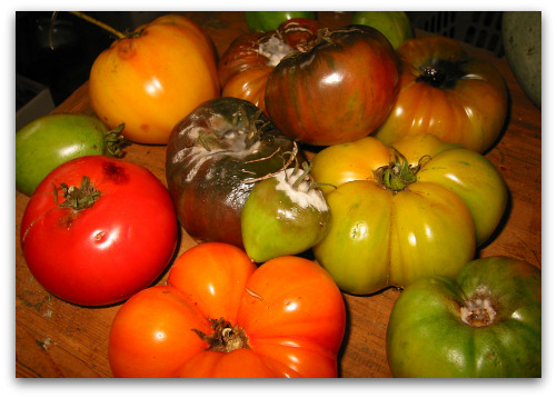 2009_10_15_blog_tomatoes