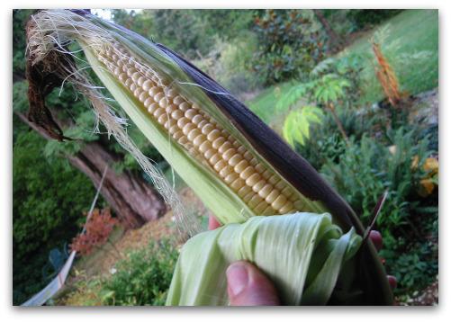 2009_10_16_blog_corn