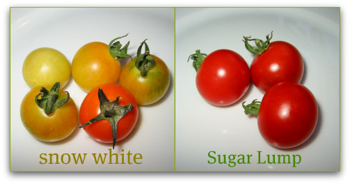 Snow White and Sugar Lump Cherry Tomatoes: small size, but big flavor