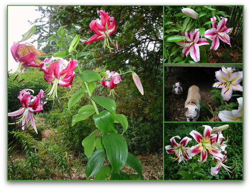 lily flowers in bloom