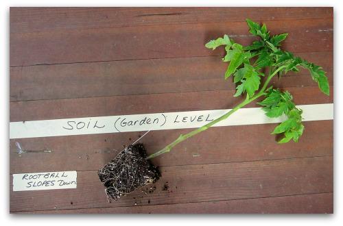 planting depth for leggy tomato
