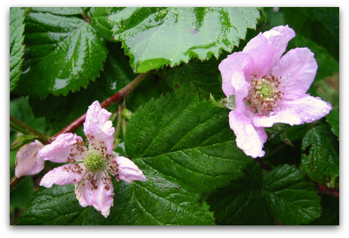 blackberries in bloom, June rain