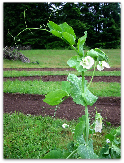 snap pea vine and blossom