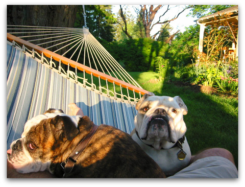 bulldogs in a hammock